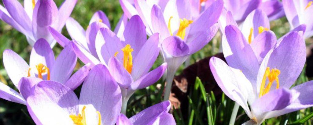 Detailaufnahme lilafarbene Krokusse auf Frühlingswiese