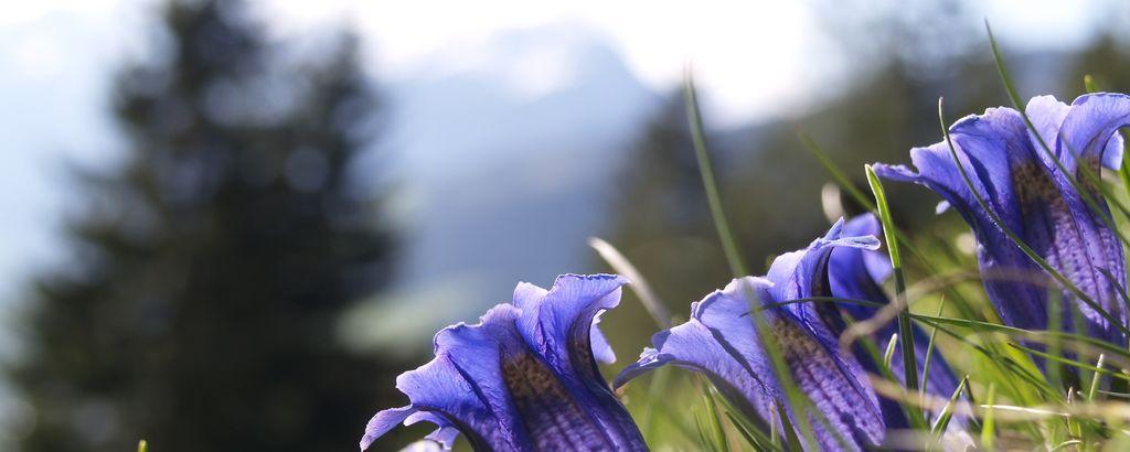 Detailaufnahme von Enzian-Blumen vor einer alpinen Landschaft
