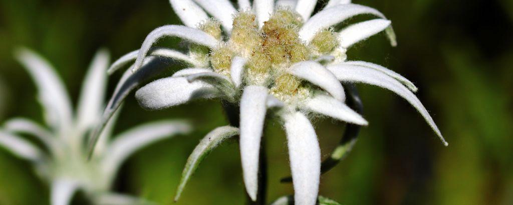 Detailaufnahme einer Edelweiss-Pflanze