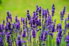 Violett blühender Lavendel im Feld